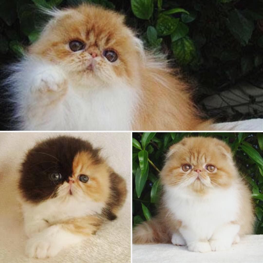 Perfold Cat is an adorable looking cat A mixed breed between a