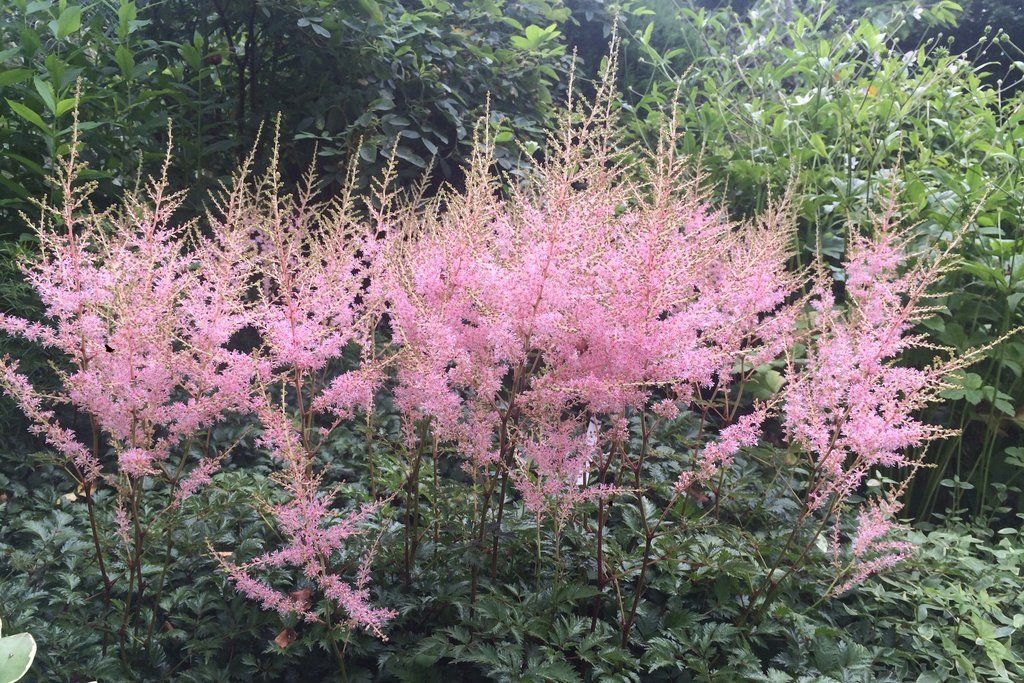 Astilbe Hennie Graafland Simplicifolia Hybrid Is A Sister To Sprite But Slightly Taller With Lighter Green Foliage It Astilbe Border Plants Shade Plants