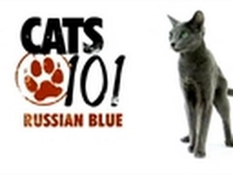 Cats 101 - Russian Blue - YouTube