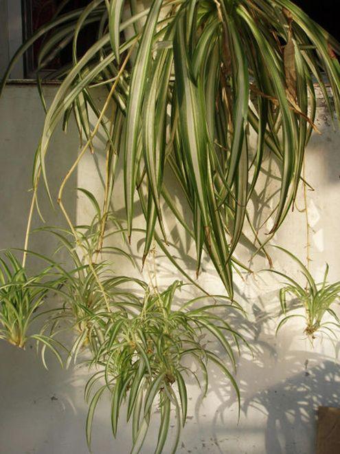 phalang re plante araign e chlorophytum comosum. Black Bedroom Furniture Sets. Home Design Ideas