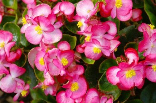 Begônia 6 500x331 Begônia   Begoniaceae