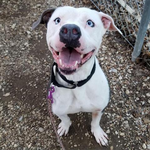 Bulldog dog for Adoption in Austin, TX. ADN824562 on