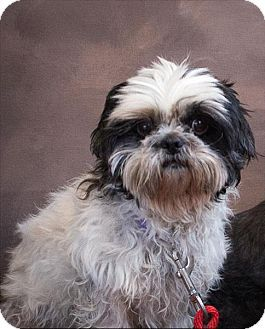 Pin By T Press On Shih Tzus Up For Adoption Pinterest Adoption