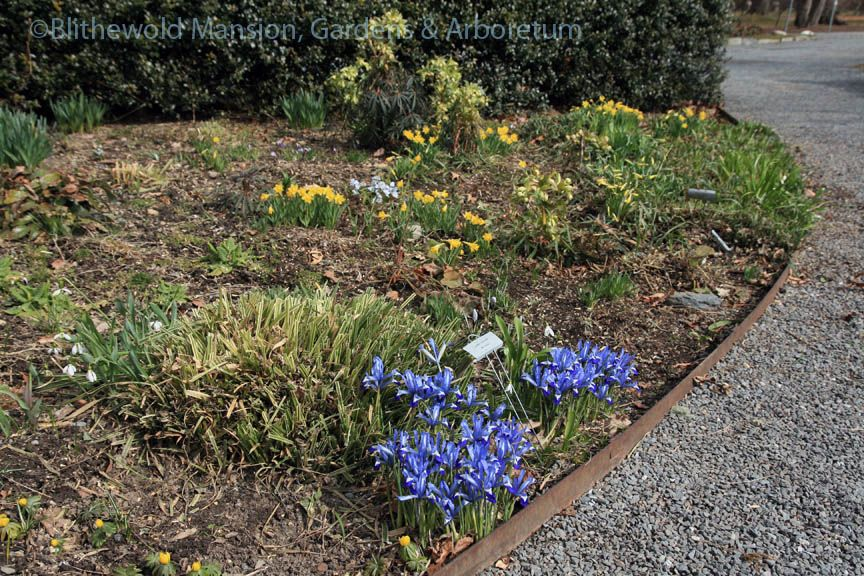 Narcissus 'Little Gem' and Iris reticulata in the Moongate bed