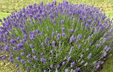A Collection of 3 Lavender Provence in 9cm pots