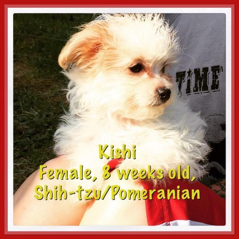 Adopt Kishi On Shih Tzu Dog Shih Tzu Dogs
