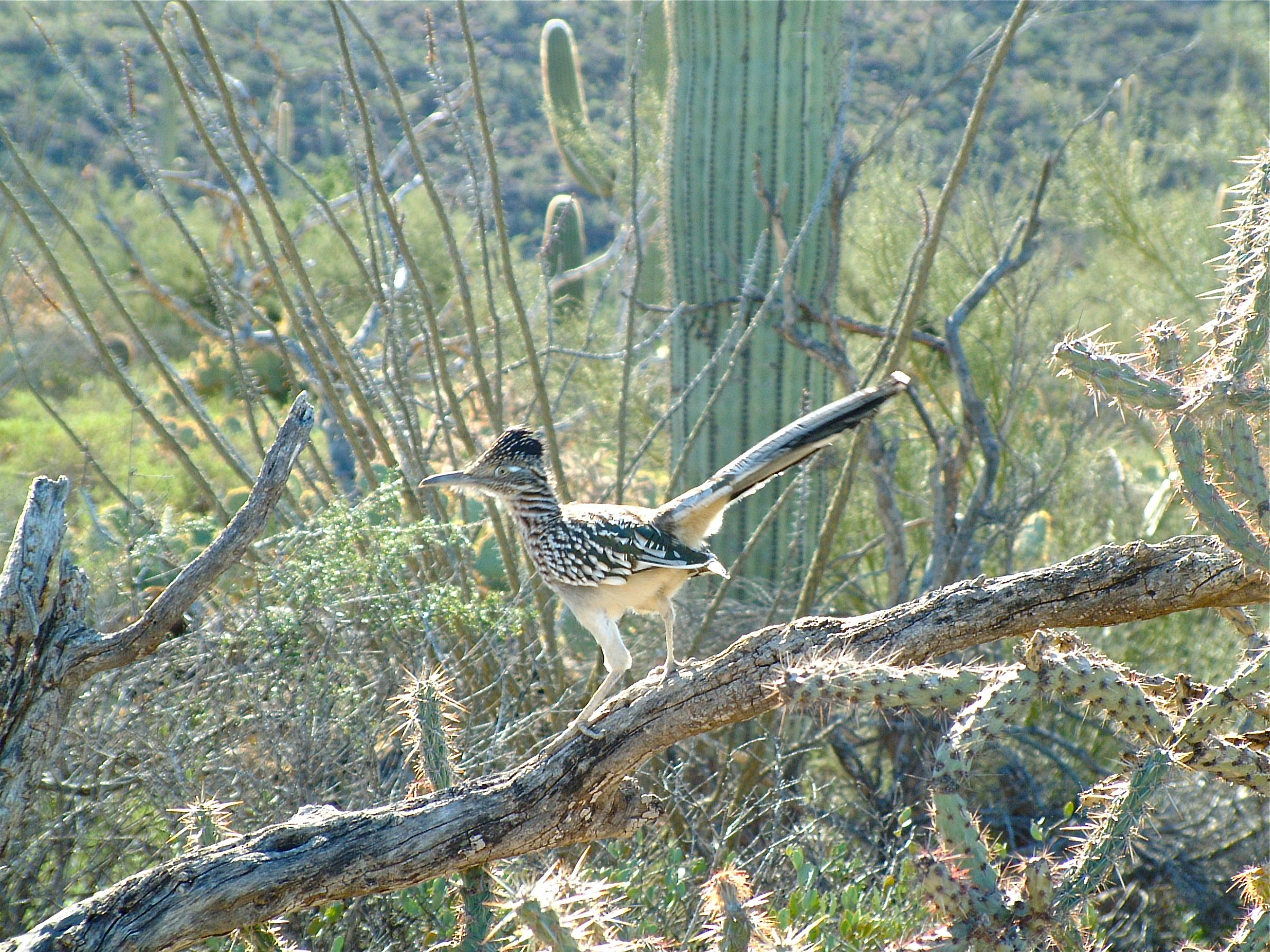 Roadrunner near Tucson by Thomas Ale Johnson