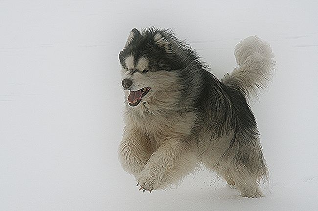 Alaskan Malamute Rescue Uk