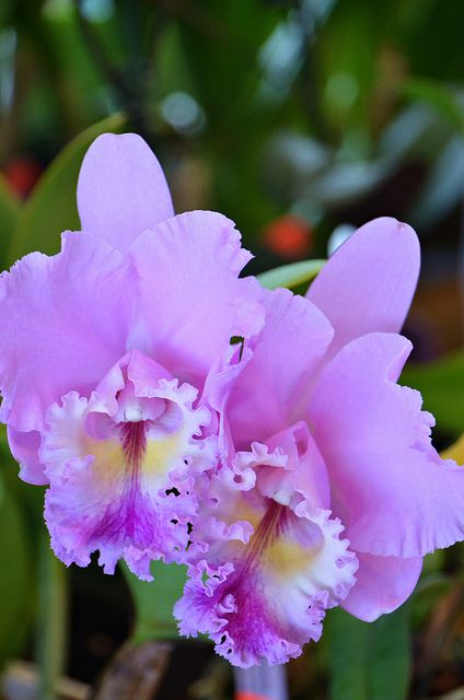 From The Cattleya Genus Of Orchids This Spelling Of The Name Was Popularized By The Movie Colombiana Cattle Cattleya Orchid Unusual Flowers Amazing Flowers