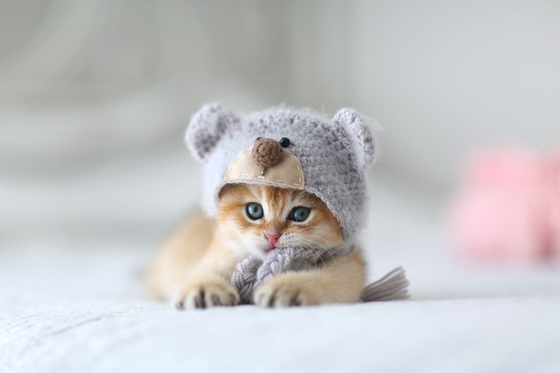 British Shorthair Kitten For Sale In Usa Lason Lorettabritish Black Golden Shaded Color With British Shorthair Kittens British Shorthair Chicago Bears Memes