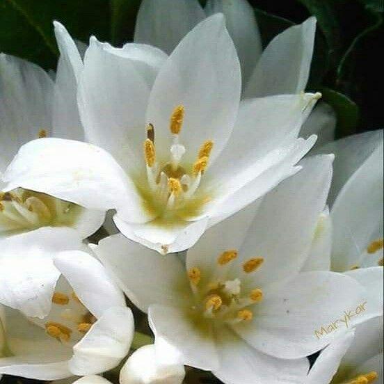 Mis flores en fotografía (Marykar 💗) Estrella de Belén #flower