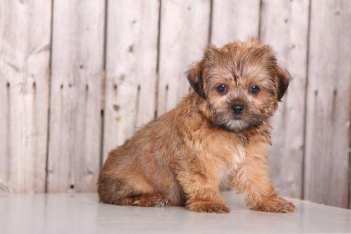 Shorkie Tzu Puppy For Sale In Mount Vernon Oh Adn 43873 On Puppyfinder Com Gender Female Age 9 Weeks Old Puppies For Sale Puppies Shorkie Tzu