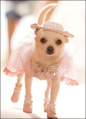 Beverley Hills Chihuahua I M Sorry But Thr Shoes And Socks Are