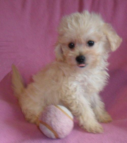 Candy Female Maltipoo Puppy For Sale In Ohio 700 Maltipoo