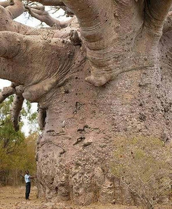 Person standing next to a Baobab Tree