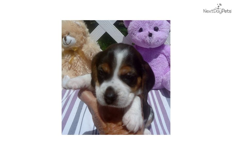 Find Puppies For Sale From Linda Winship Beagle Breeder Located