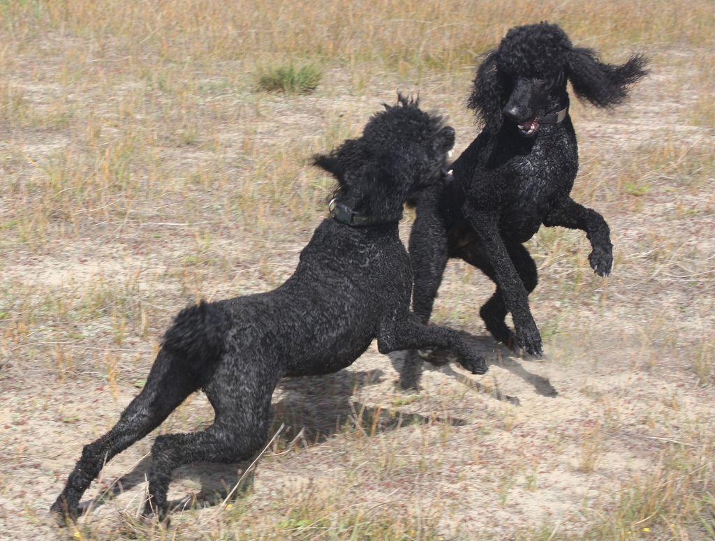 Wild Spoos Of The Serengeti Black Standard Poodle Poodle Standard Poodle