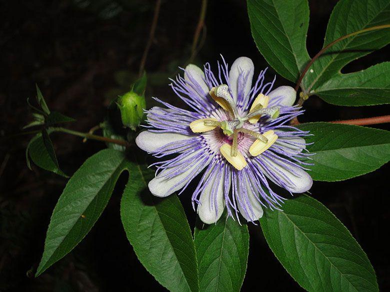 Purple Passion Flower Passiflora Incarnata Care And Benefits Passion Flower Passion Fruit Plant Purple Passion Flower