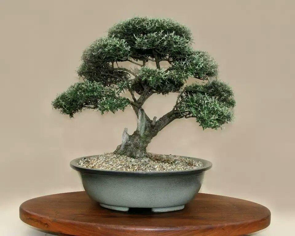 2012 10 height 45 cm buddleaya saligna bonsai false for Bonsai hydrokultur