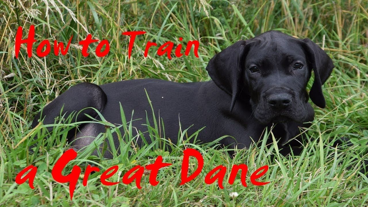 How To Train A Great Dane How To Potty Train A Great Dane Puppy