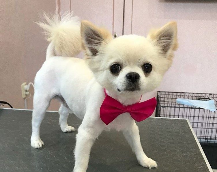 10 Best Long Haired Chihuahua Haircuts Long Haired Chihuahua Chihuahua Dog Haircuts