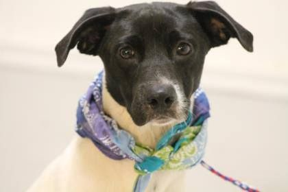 NAME: Halsey ANIMAL ID:28263363 BREED: pointer mix SEX:male EST. AGE:1yr Est Weight:33 lbs Health: heartworm neg Temperament:dog friendly, people friendly ADDITIONAL INFO: RESCUE PULL FEE:$49 Intake date:6/30 Available:now —