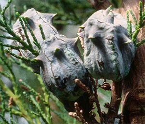 Widdringtonia Cedarbergensis   immature seed cones.       Clanwilliam Cedar        Clanwilliamseder    5-7 m  (20)   SA no 19