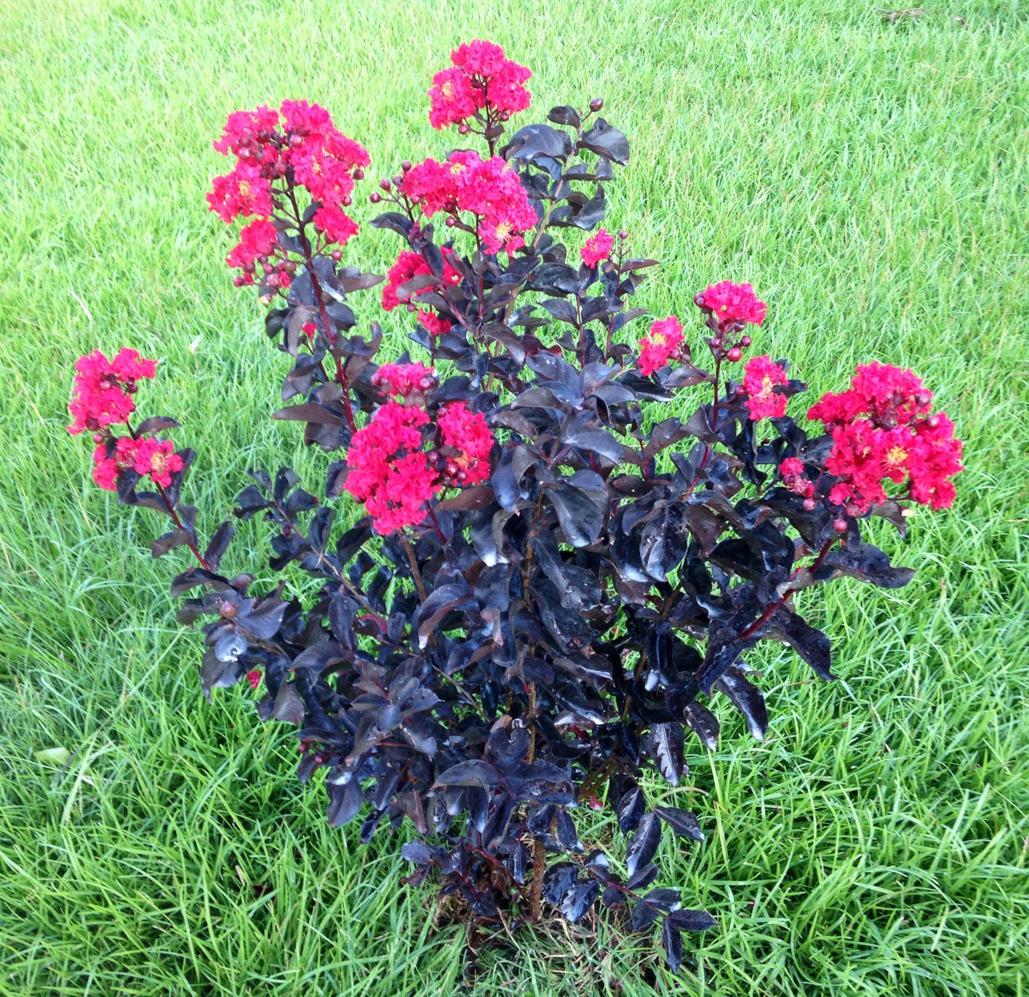 My Red - Black Diamond Crape Myrtle | Welcome to my Garden ...