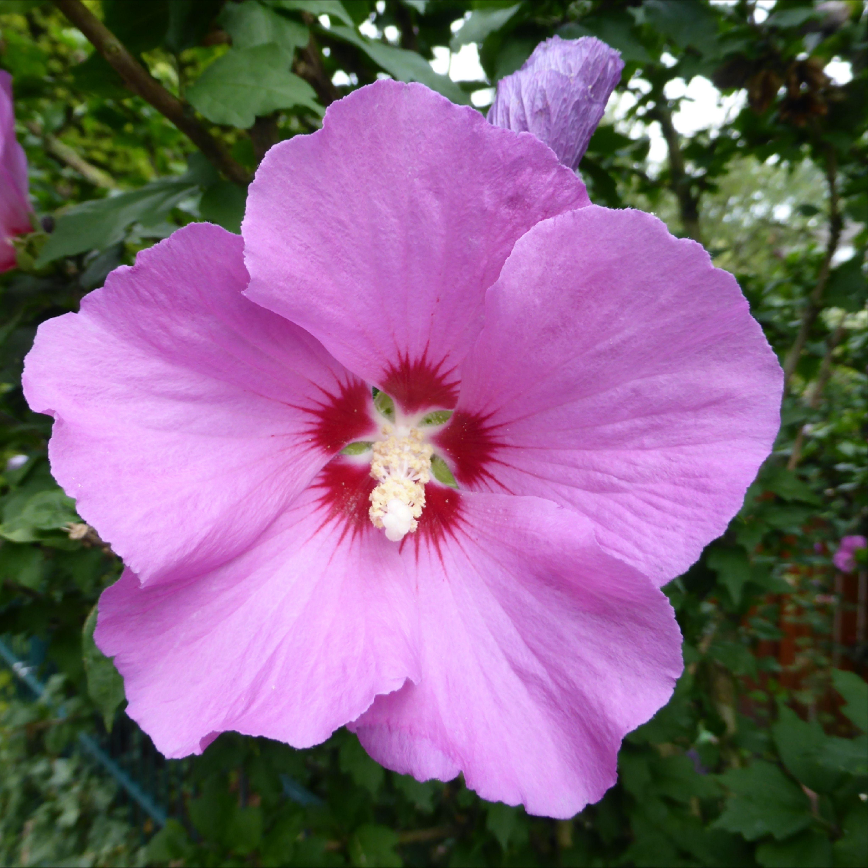 Hibiskus - riesige Blüten und leuchtende Farben | Hibiskus