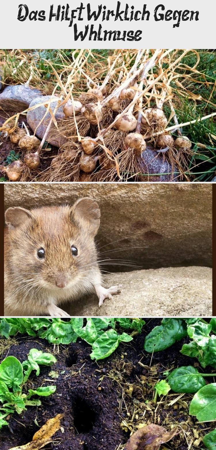 Wuhlmause Feldmause Erfolgreich Aus Dem Garten Vertreiben Bekampfen Garten Wuhlmaus Selbstversorgung Gartenplanungskizze Gartenplanungm Animals Hamster