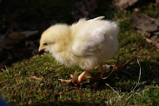 Spraddle Leg in a small chick