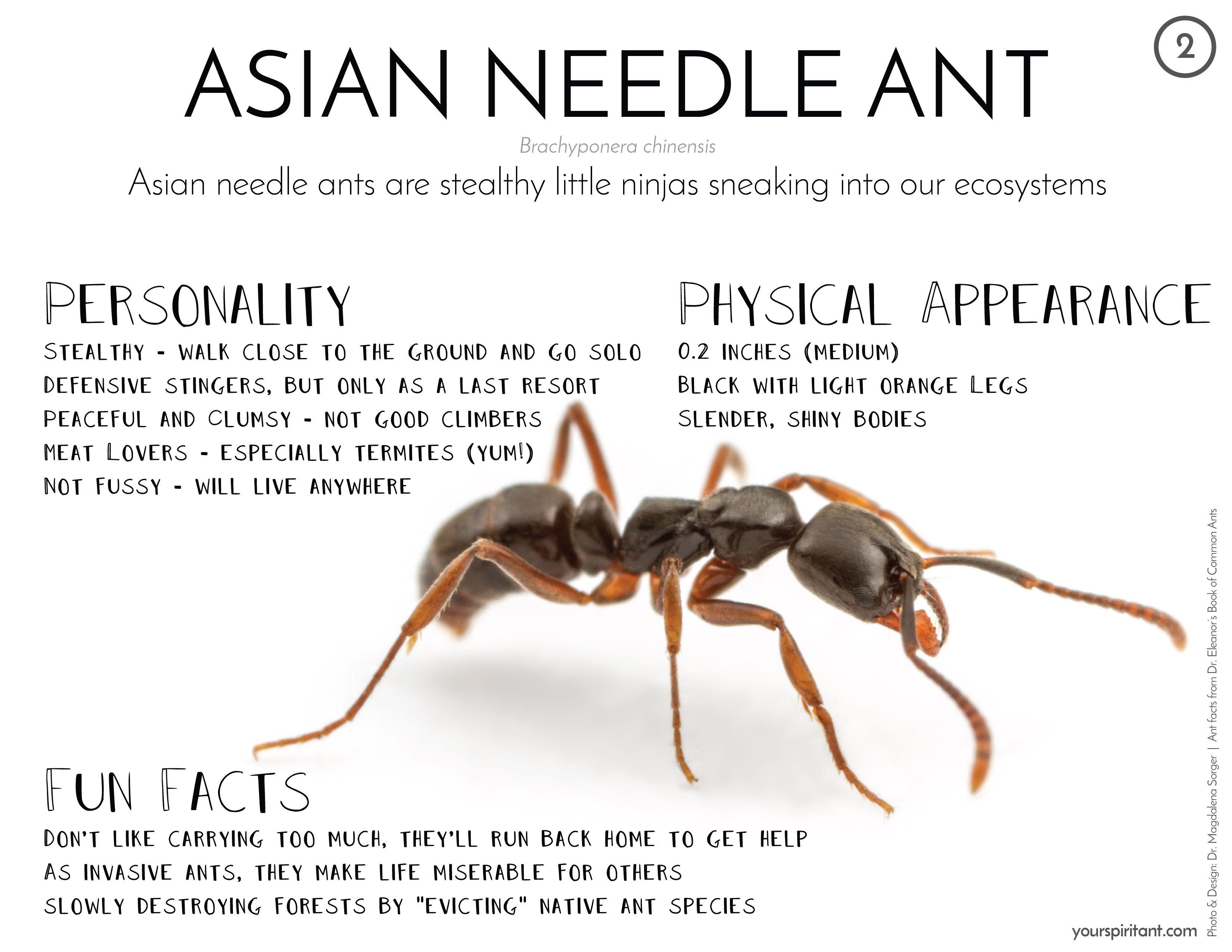 Image result for needle ants | Avast Ye | Pinterest | Ant