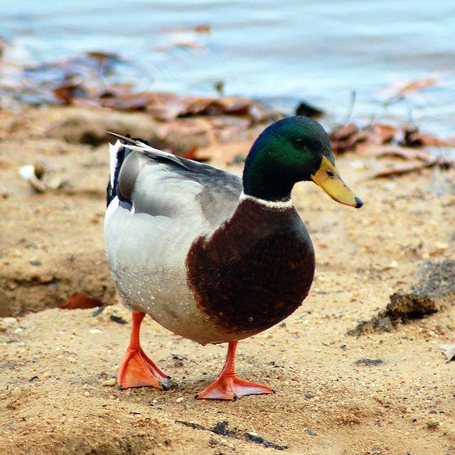Mallard Male Duck