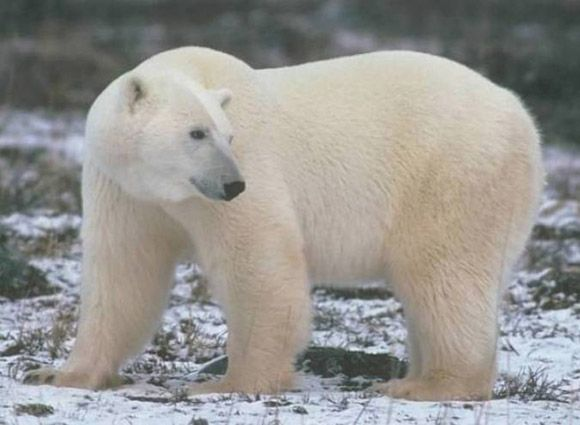 Especies De La Tundra Enimal Oso Kodiak Zorro Artico Oso Polar