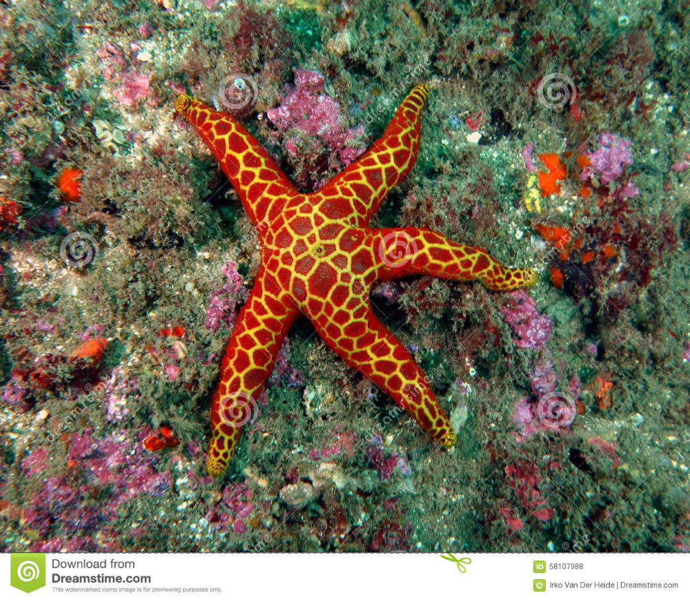 Red And Yellow Seastar Stock Photo Image Of Ocean Underwater 58107988 In 2020 Stock Photos Photo Sea Animals