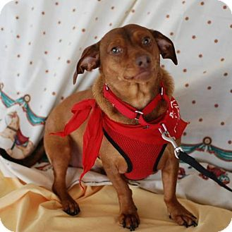Pin By Jo Wiest On Rescue Dogs Dachshund Mix Dogs Dachshund