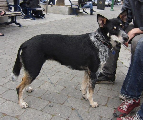 Dog Of The Day Betty The Blue Heeler German Shepherd Australian