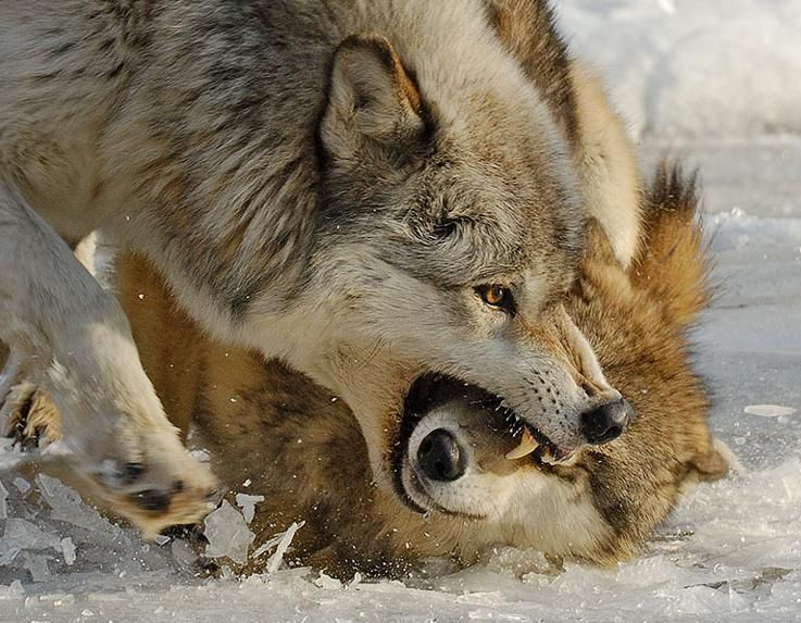 Pin by Evgeniya Angelova on волки медведи лисы | Wolf ...