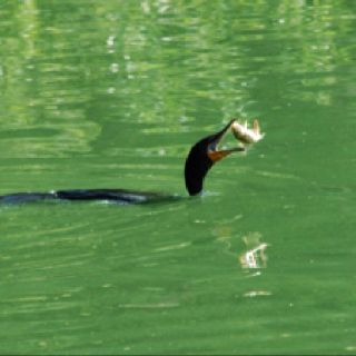 Cormorant catching and eating a koi fish.