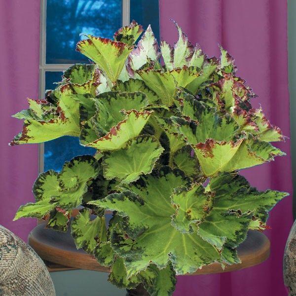 Begonia River Nile Begonia Perennial Flowering Plants Flowers Perennials