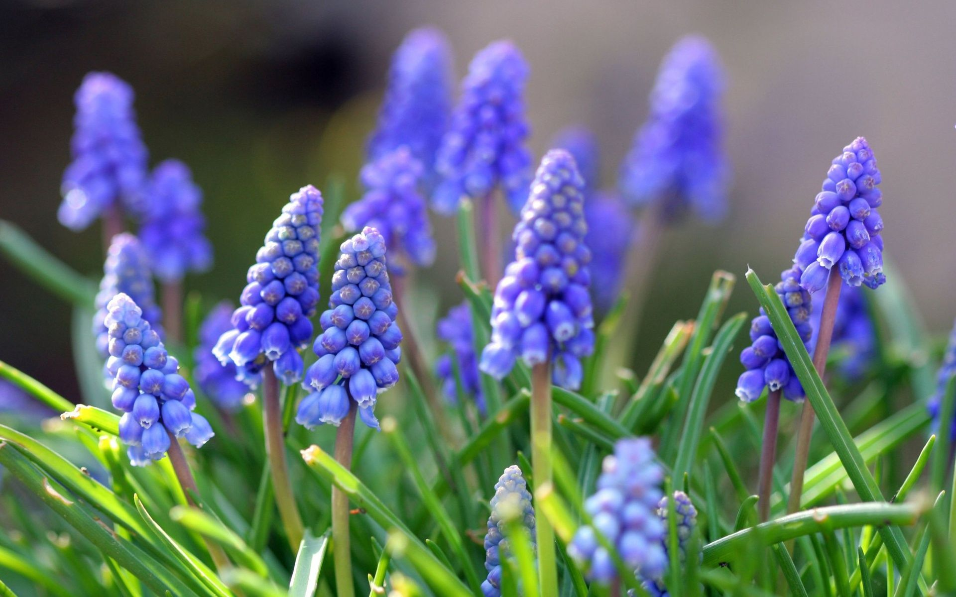 grape hyacinths muscari are a lovely blue spring flower plant the