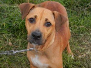 Adopt Sonja On Dogs Boxer Dogs Labrador Retriever