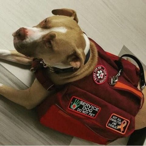 Delta Is Banning Pit Bull Service Dogs That Might Not Be Legal