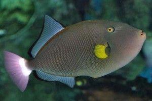 Pink Tail Trigger Fish Tropical Fish Pictures Marine Fish Tanks Fish