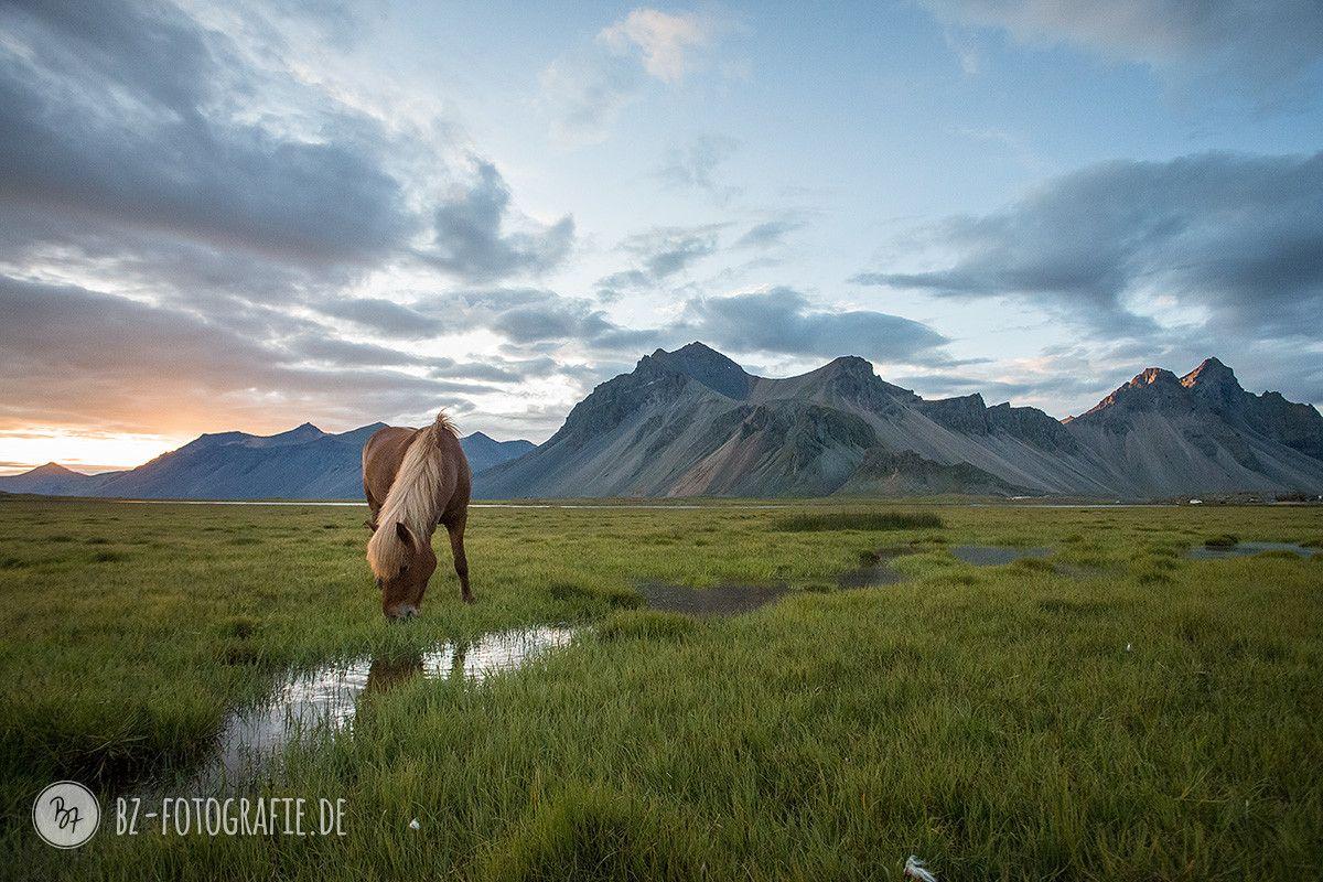 Icelandic midsummer night. Horses calmly grazing in epic surroundings.