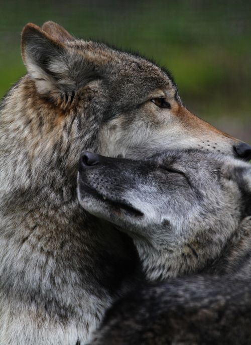 Wolves are thought to mate for life and often spend their entire lives with their families. They are among the most social and emotionally affectionate of all animals.