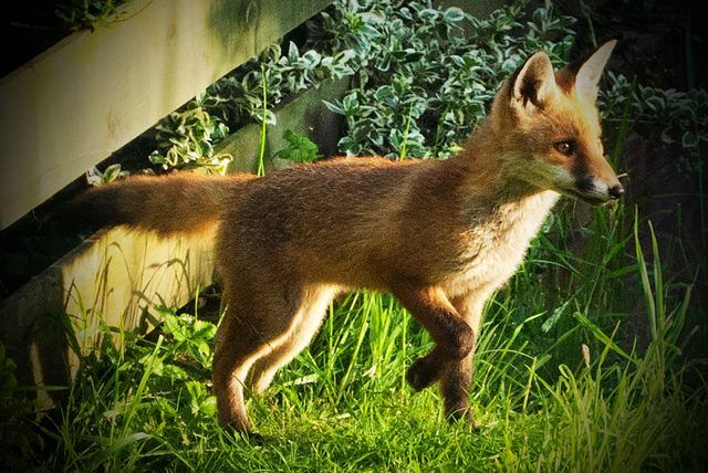 Hunting For His Supper Animals Beautiful Pet Fox Pet Goat