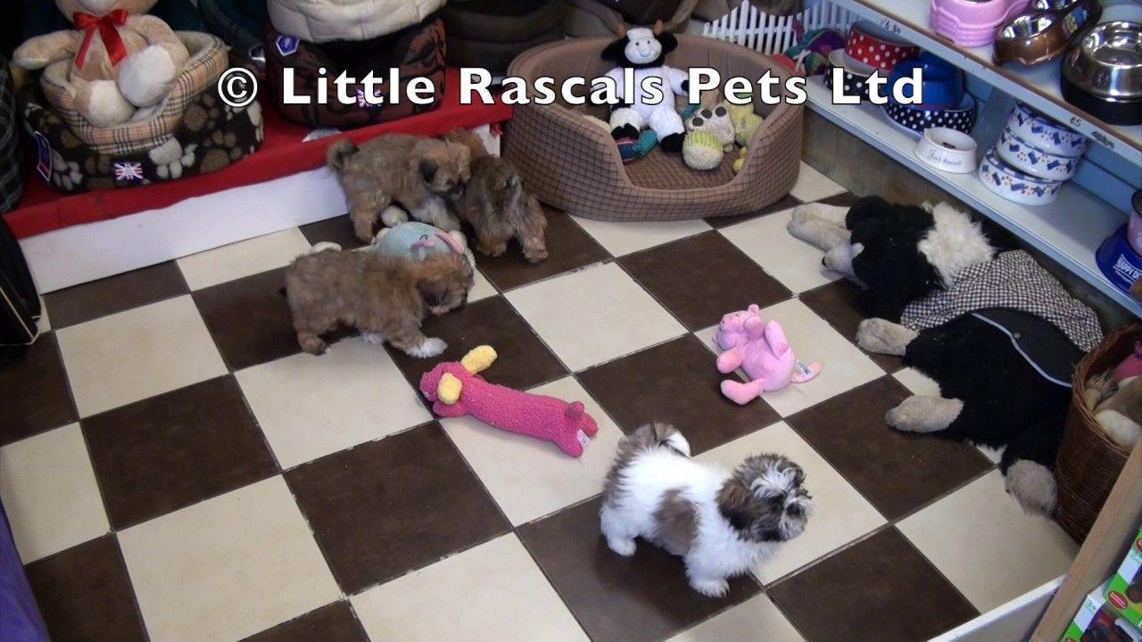 Little Rascals Uk Breeders New Litter Of Shih Tzu S Shih Tzu Puppy Shih Tzus Pet Plan