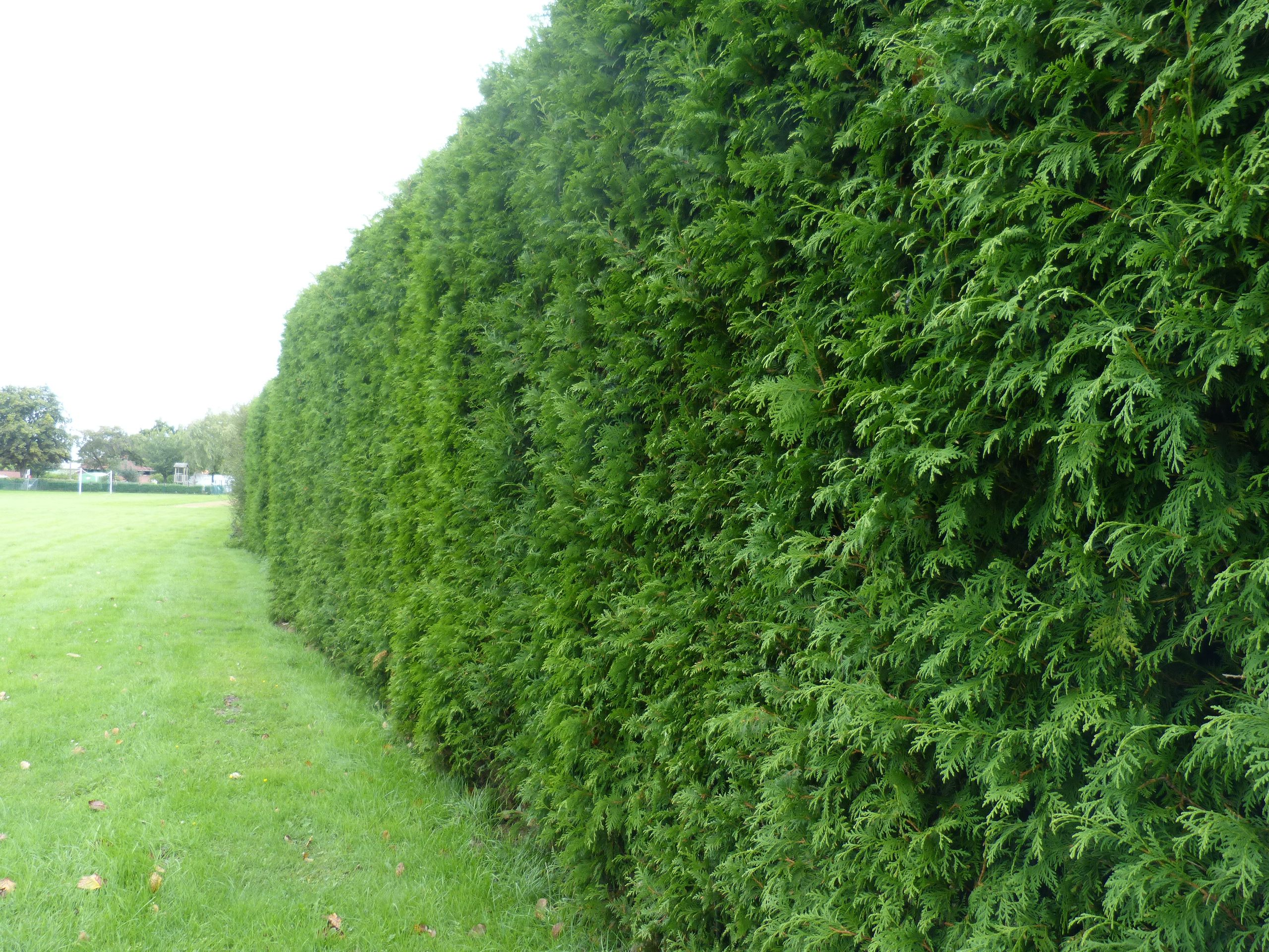 Der Lebensbaum eignet sich ideal als neue Hecke für Ihren Garten
