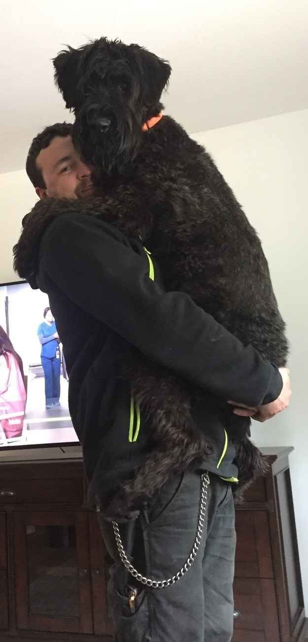 25 Dogs That Are So Big You Won T Believe They Re Real Giant Schnauzer Huge Dogs Dogs